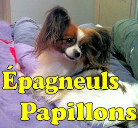 Epagneuls papillons