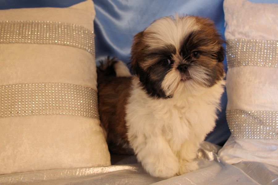 Image result for Jolie Shih Tzu