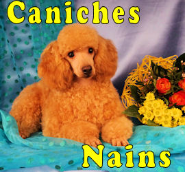 caniches Nains
